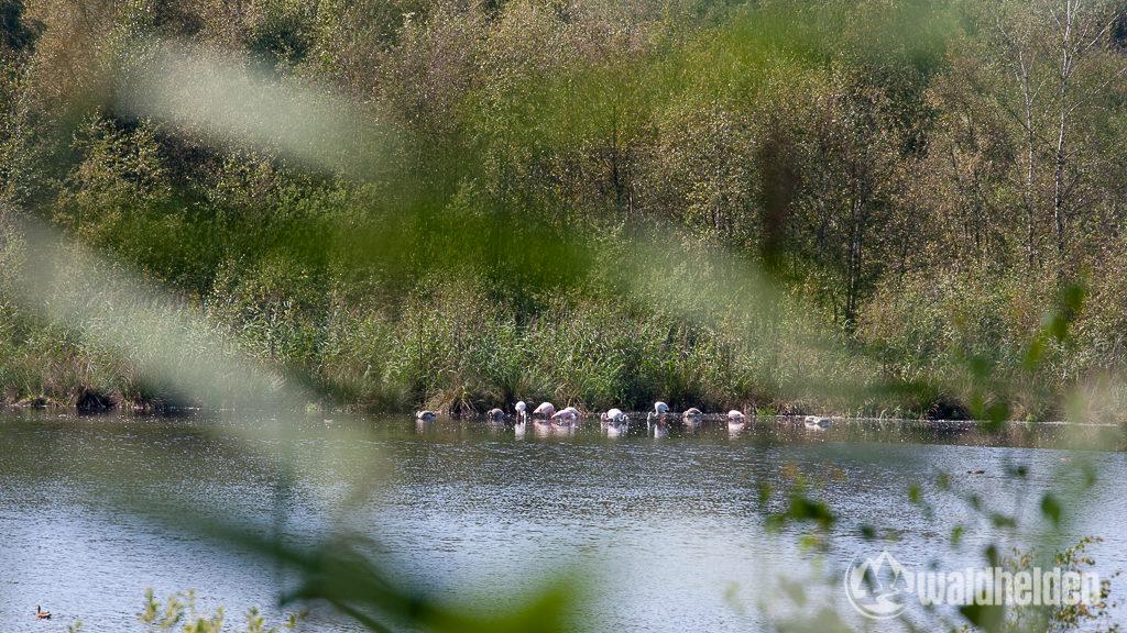 Flamingos im Zwillbroker Venn Münsterland