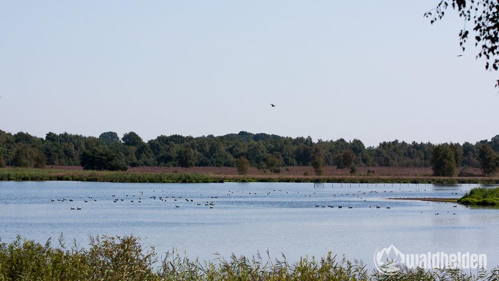 Die nährstoffreichen Seen im Zwillbroker Venn bieten den Flamingos beste Bedingungen im Münsterland.