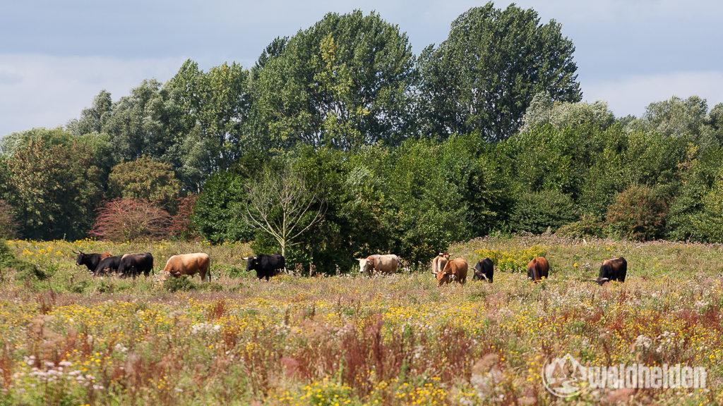 Taurus-Rinder und Konik Ponys sind auch hier als Landschaftspfleger aktiv.