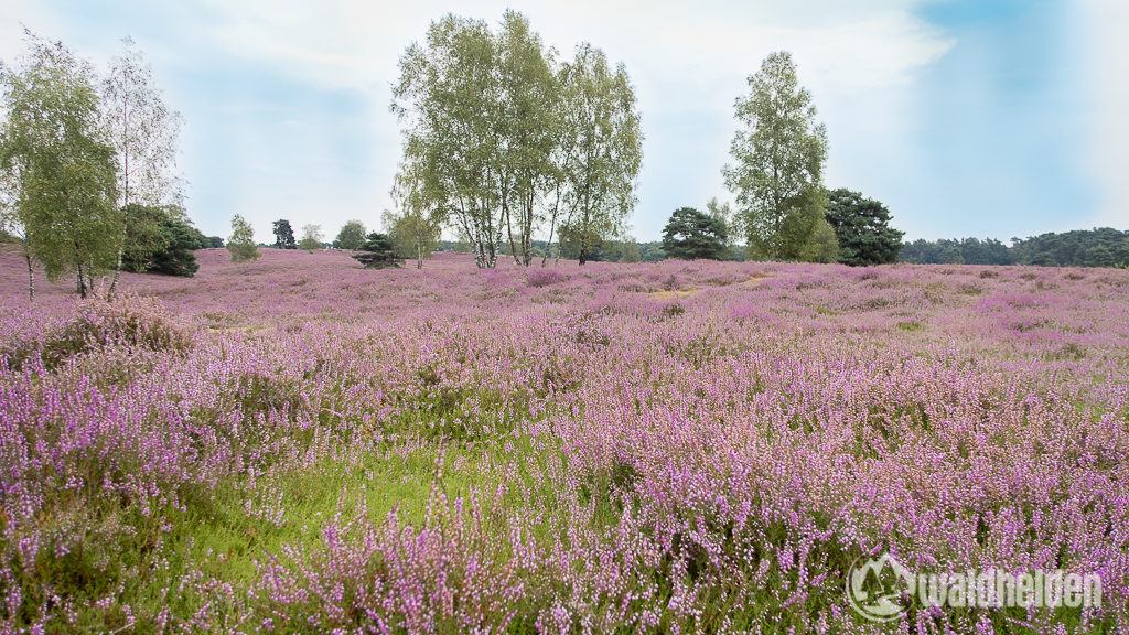 Der Lavendel in der Provence kann einpacken - hier kommt die Westruper Heide.
