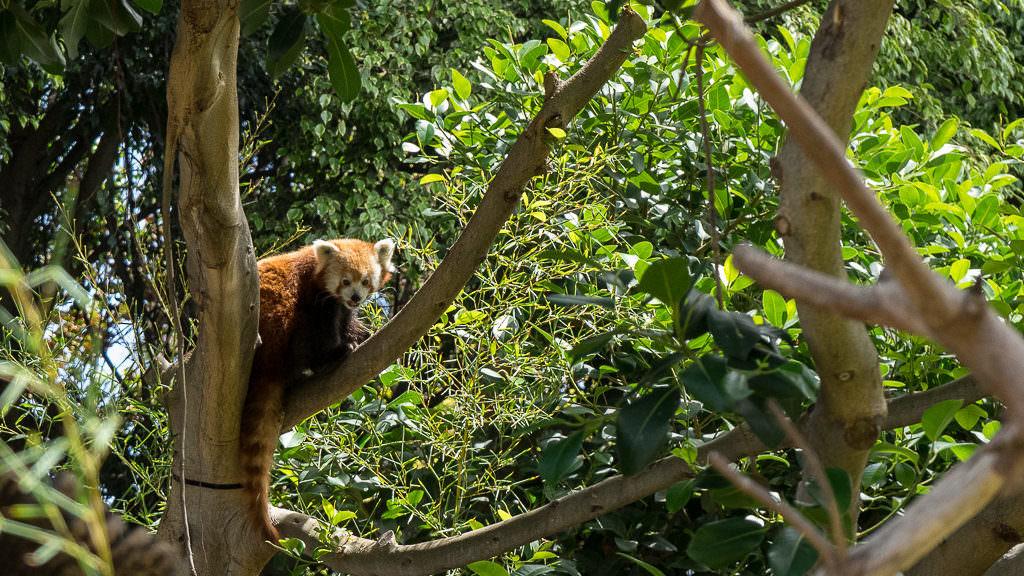 Loro Parque Red Panda