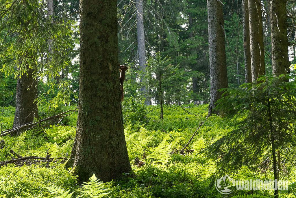 Eichhörnchen im Schwarzwald