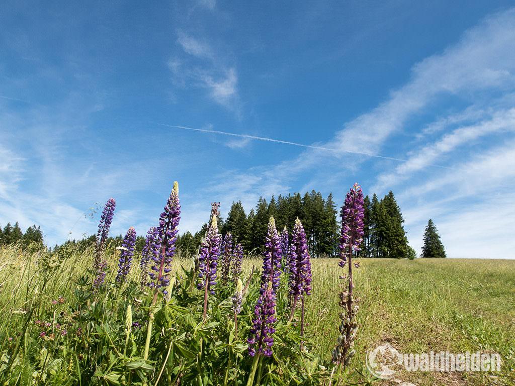 Schwarzwald Wanderung Blumen