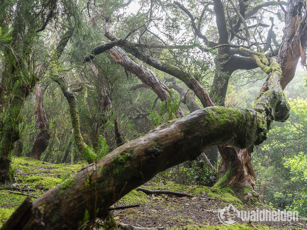 Märchenwald im Anaga Gebirge auf Teneriffa