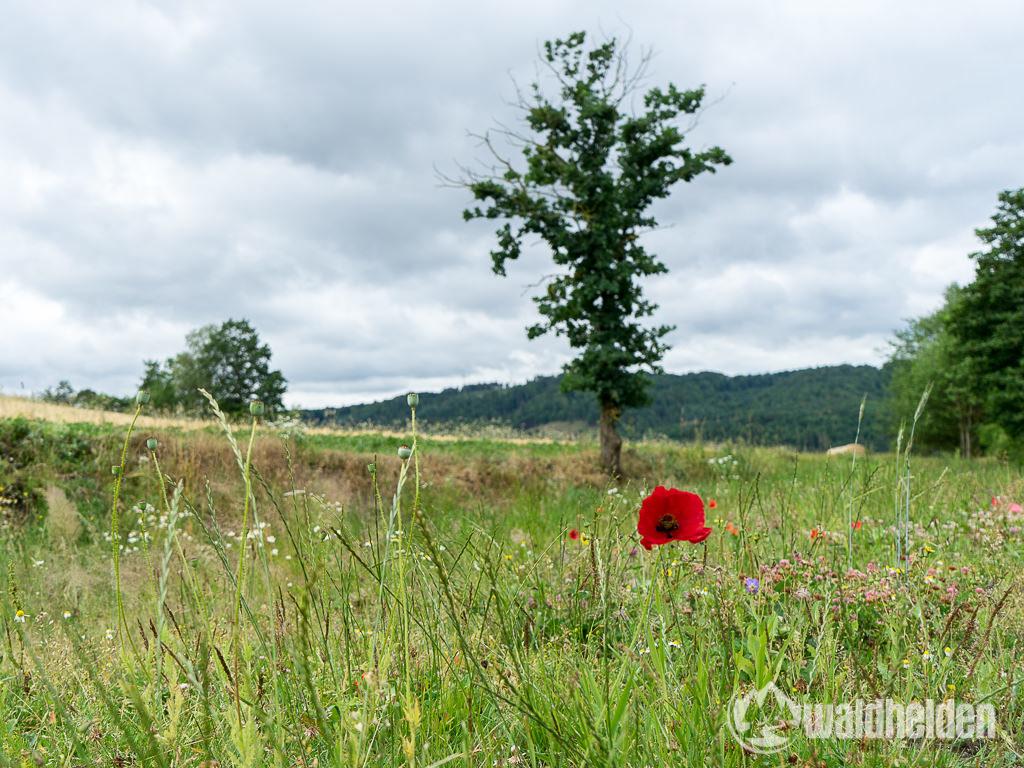 Mohnblume Nationalpark Kellerwald-Edersee
