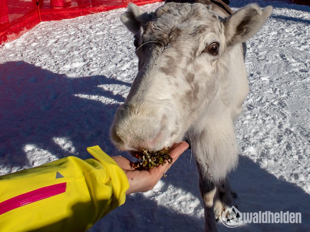 Bad Moos Dolomiten Rentierfütterung an der Rotwand