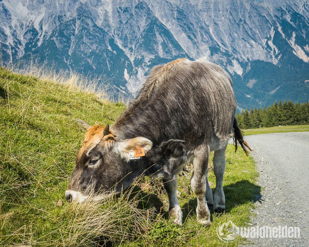 Leogang Saalfelden im Sommer Kuh auf dem Asitz