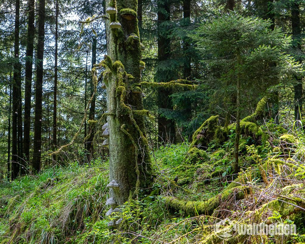Sauerland Seelenorte Zunderpilze auf Totholz
